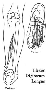 Flexor Digitorum Longus