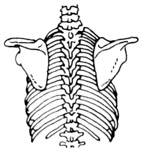 bones of the upper back