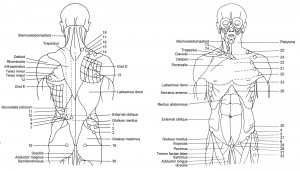 Torso trigger points - back and front