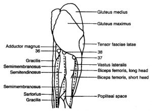 Drawing of Upper Leg - Posterior View