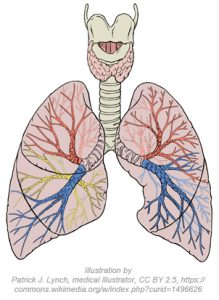 detailed diagram of the lungs