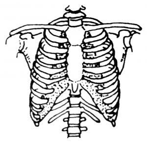 Bones of the Chest
