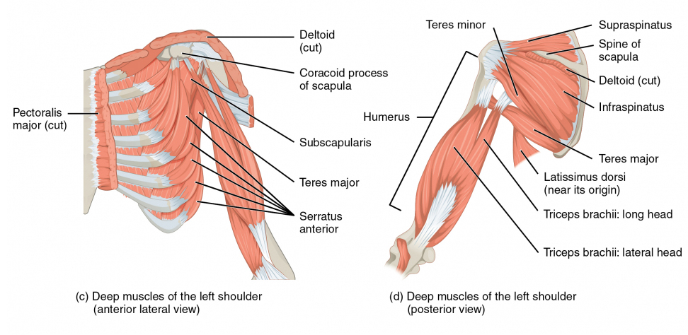 Human anatomy illustration - Shoulder Girdle - from HumanAnatomyLibrary.com
