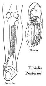 Tibialis Posterior