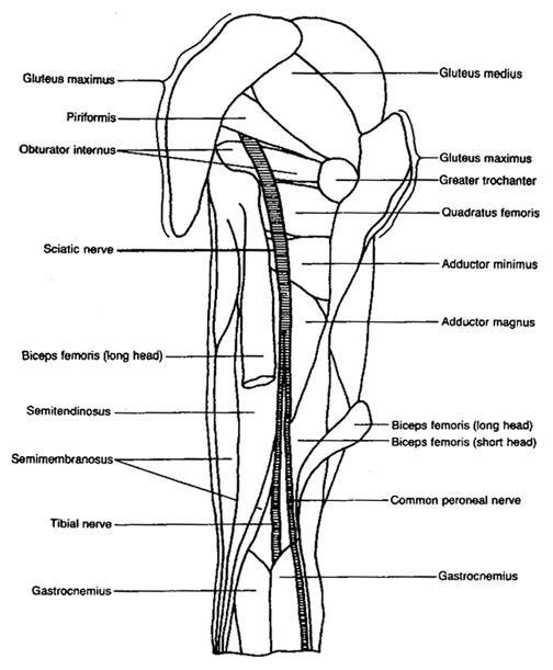 Sciatic Nerve Illustration
