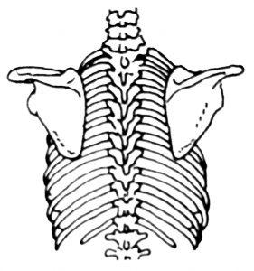 Bones of the Upper Back