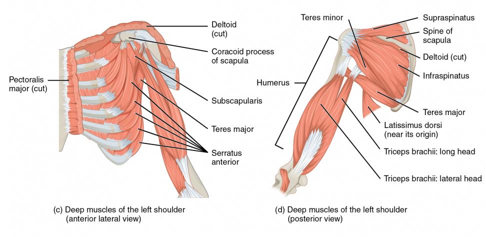 Human anatomy illustration - Shoulder Girdle - from HumanAnatomyLibrary.com